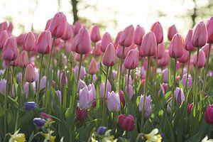 Tulpen met dauw van Karel Ham