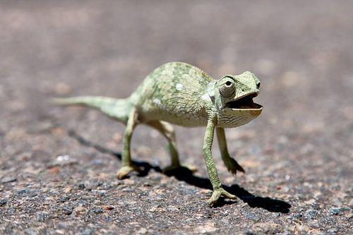 Zambia / Chameleon crossing / 2011 von Evert Jan Luchies