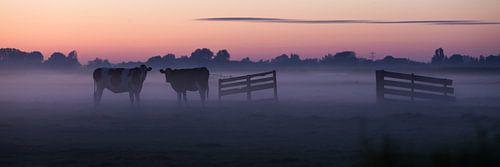 koeien in de avondmist