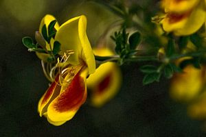 Yellow retama von Brenda Gonzalez