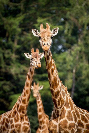 Giraffen trio van Marco Willemsen