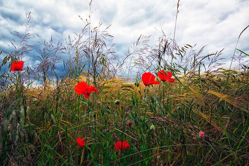Korenveld met klaprozen en donkere lucht van Jan Sportel Photography