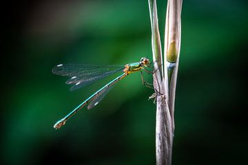 Grüne Libelle von Jayzon Photo