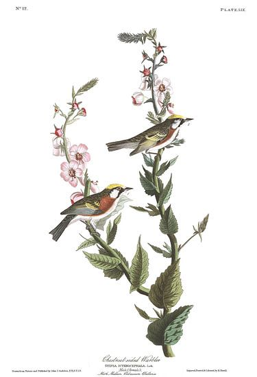 Roestflankzanger van Birds of America