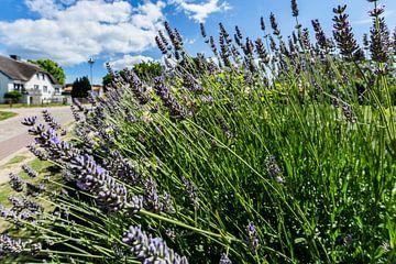 Lavendel, Groß Zicker, Ruegen van GH Foto & Artdesign