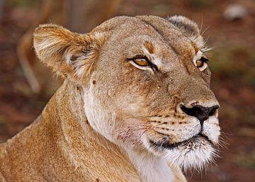 Lioness - Africa wildlife van W. Woyke