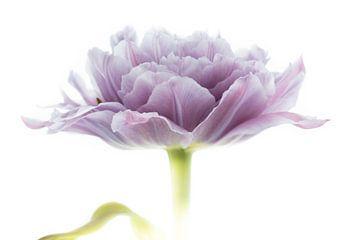 Tulpe Violett aus der Tulpen-Serie Suur von Marja Suur