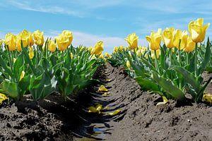 Veld met gele tulpen van