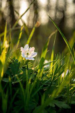 Witte bloem in groen gras von Stan Loo
