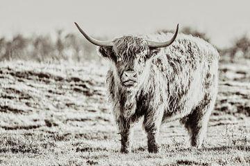 Schottischer Highlander von Rik Verslype