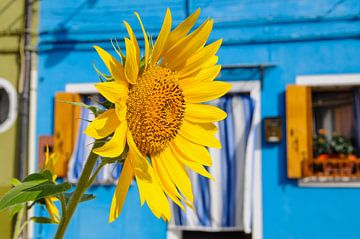 Zonnebloem in Burano, Italië. van Wilco de Haan