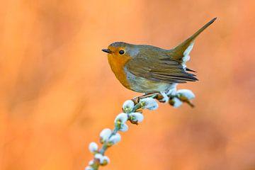 Wintering European Robin (Erithacus rubecula) von AGAMI Photo Agency