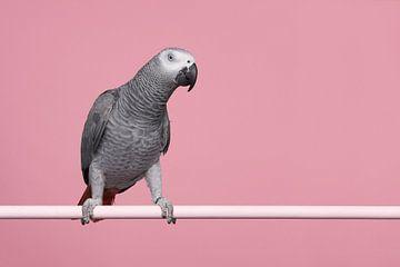 Grijze roodstaart papegaai van Elles Rijsdijk