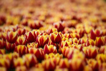 Tulipfield sur Lisette Sloet