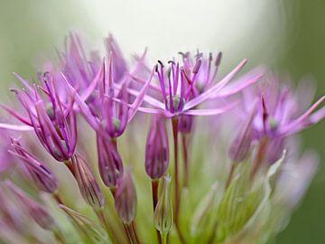 Violette oder dunkelrosa Blüten von Ronald Smits