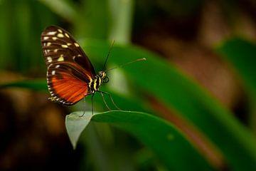 Schmetterling auf der Lauer von Dokra Fotografie