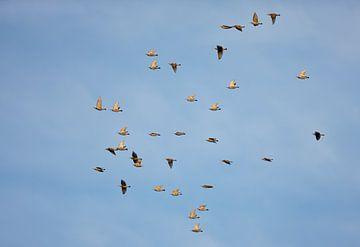 Gruppe Stare (Sturnus vulgaris) im Flug von Beschermingswerk voor aan uw muur
