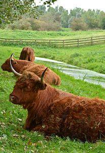 Porträt eines braunen schottischen Hochlandbewohners im Gras