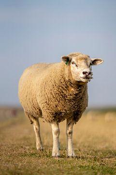 Hallo, ich bin Schaf von Steven Dijkshoorn