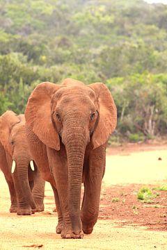 Zwei afrikanische Elefanten auf der Straße von Bobsphotography