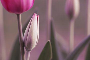 My Tulip Garden sur Tanja Riedel