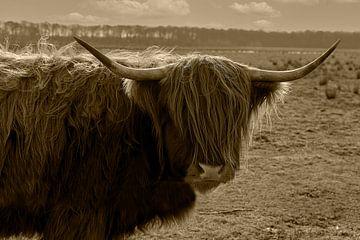 Schotse Hooglander van Humphry Jacobs