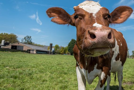 Roodbonte koe van Elbertsen Fotografie