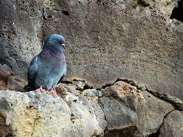 Duif op een rots sur