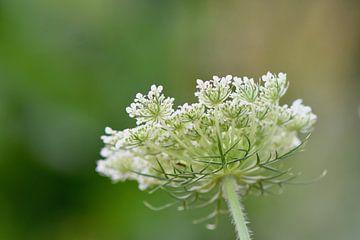 weiße Wildblumen/Unkraut von Mieke Verkennis