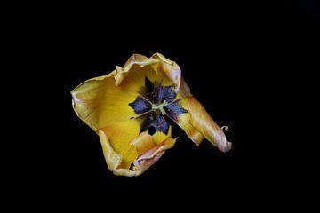 Gelbe Tulpe am Ende der Blüte von Ribbi The Artist