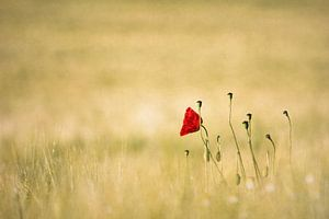 Poppy - Love / Poppy - Love van deinFarbentanz