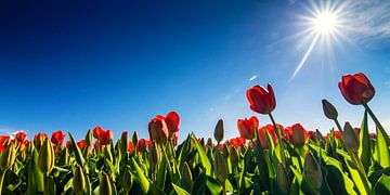 Tulpen in tegenlicht... van Hans Brinkel