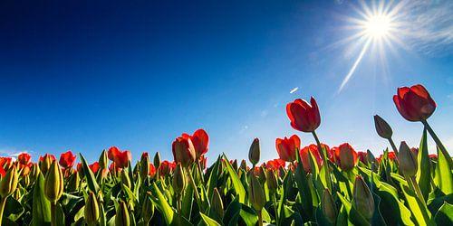 Tulpen in tegenlicht...
