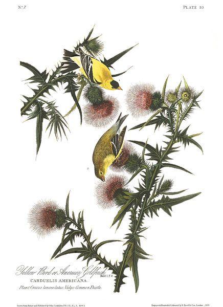 Goudsijs van Birds of America