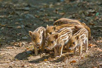 Gruppe junge wilde Eber stehen zusammen auf Waldboden von Ben Schonewille