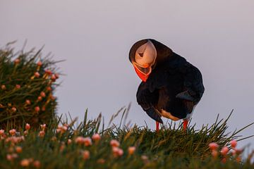 Papegaaiduiker in avondlicht van Menno Schaefer