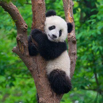 Schattige pandabeer in boom ( giant panda of reuzenpanda ) van Chihong