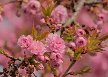 Blüten einer japanischen Kirsche von Kristof Lauwers