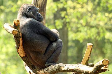 Gorilla op boomtak van
