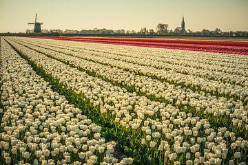 Tulpen bij Schermerhorn van Peter Heins