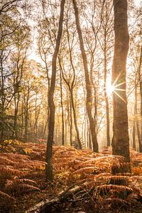 Herfstberkenbos met varens van Christian Müringer