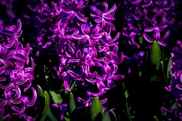 Hyacinth in de Keukenhof van Ineke Huizing