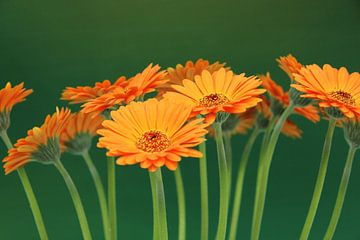 Gerbera Bloemen Oranje - Asteraceae van Christel Bekkers