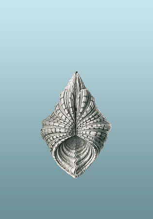 Ernst Haeckel, mossel, mollusk. Acephala, Muscheln