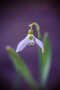 bloeiend sneeuwklokje in avondlicht von Margriet Hulsker
