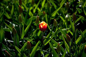 Eén tulp maakt nog geen lente ... van Ad van Geffen