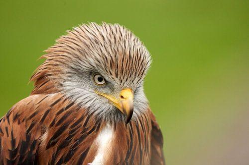 Kop van een Rode Wouw, gedetailleerde veren, oog en snavel. Groene achtergrond