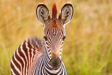 Junges Zebra, Zambia von W. Woyke