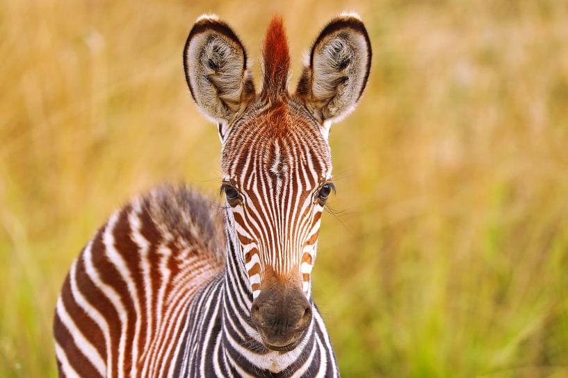 Young zebra, Zambia van W. Woyke