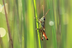 Sprinkhaan in het gras van